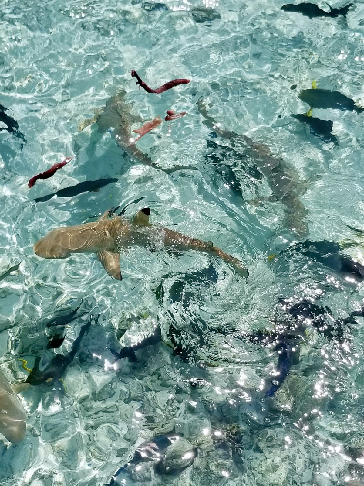 Swimming With WhaleSharks